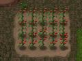 The Tomato Farm