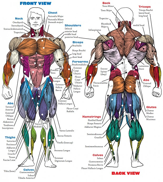 Man Anatomy