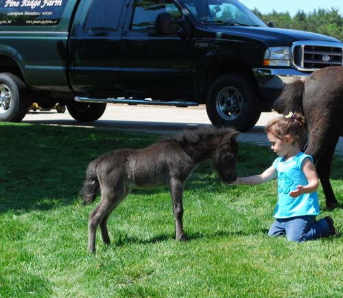 Pine Ridge Farm Miniature Horse