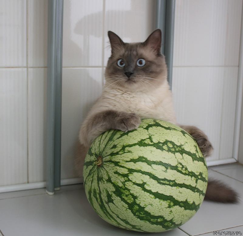 Cat Melon Meme