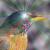 Daring_Robin