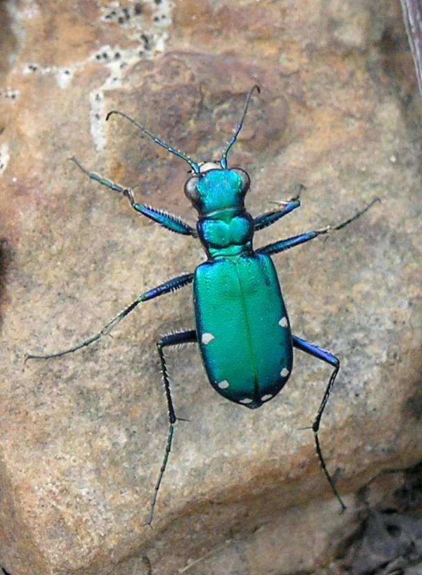 Cicindela sexguttata from Wikipedia. Photo by Marvin Smith. License: CC BY-SA 2.0. Rotated for newsletter.