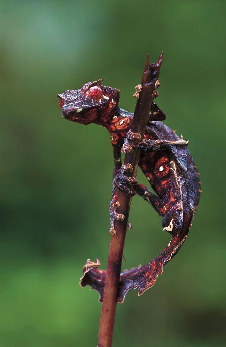 Satanic Tree Leaf Gecko