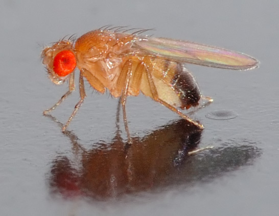 Drosophila melanogaster   side